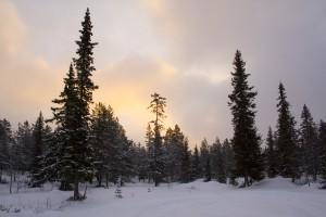 soluppgang_skog